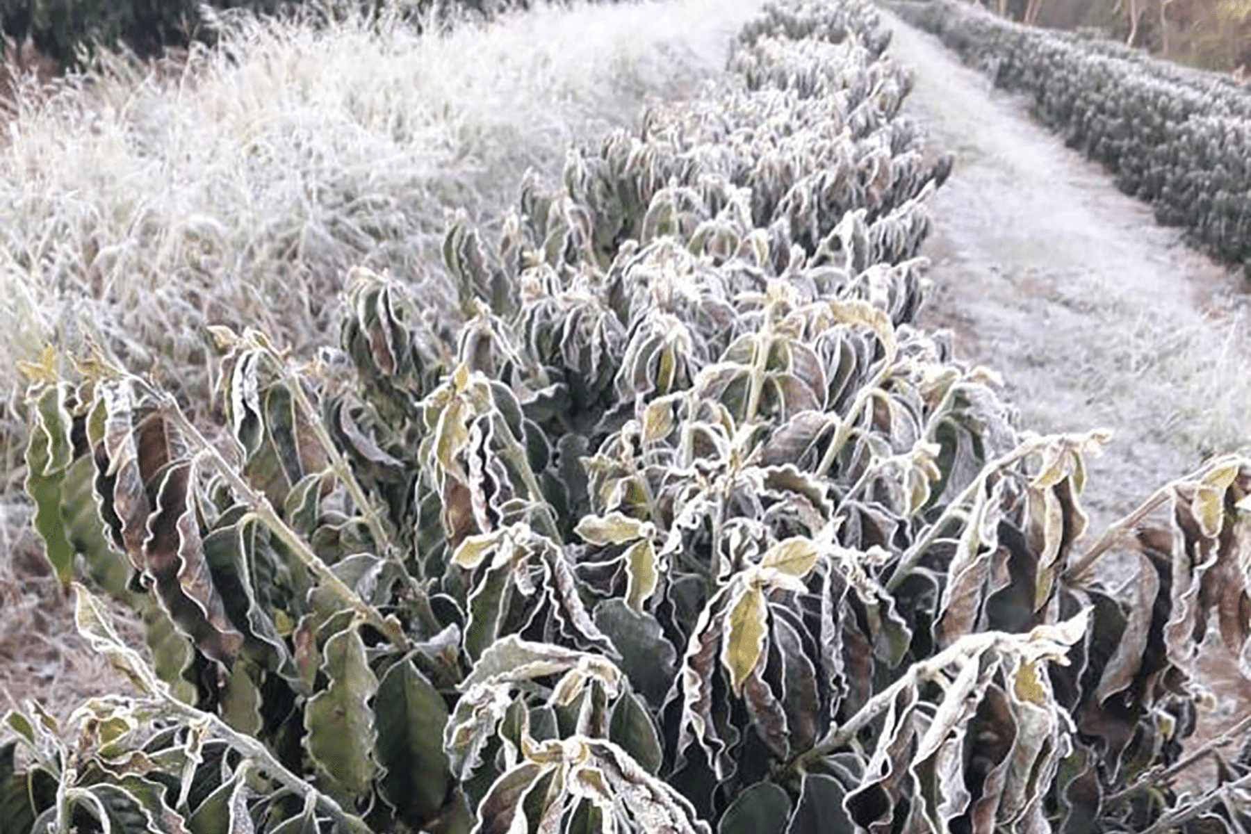 Minas Hill Foundation supports Brazil's frost affected farms - BeanScene