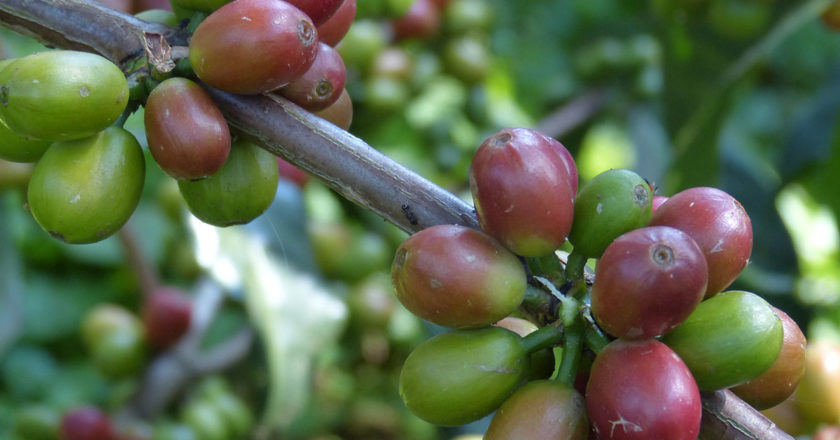 coffee extinction