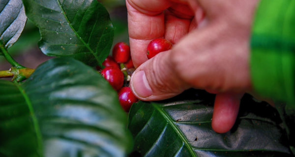 coffee prices downward