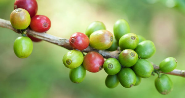 Coffee prices fall