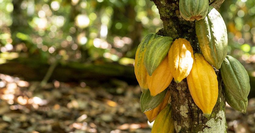 cocoa amazon